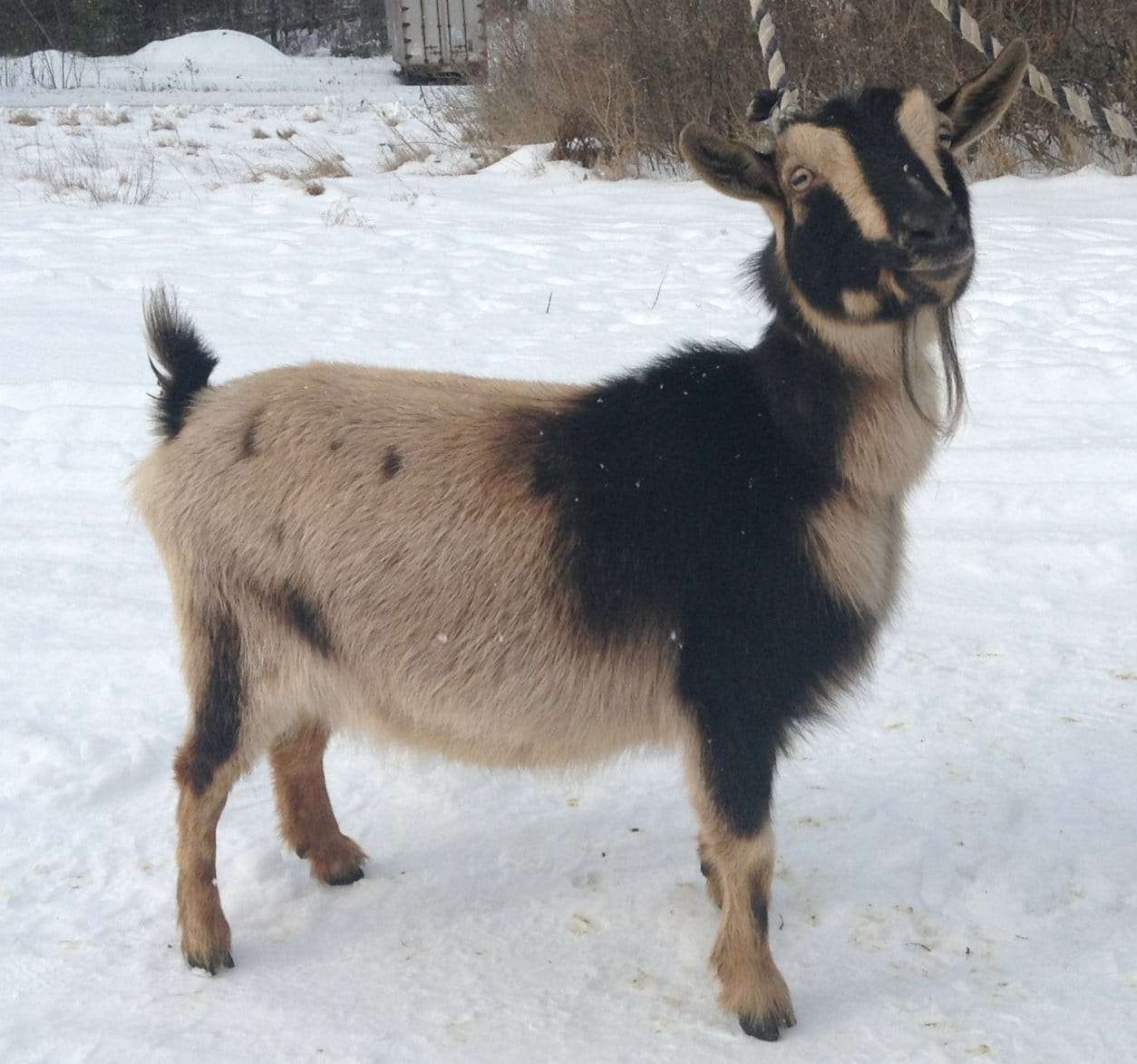Blackberry Ridge Farm goat - Wolcott, VT 05680